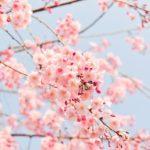 cherry blossom tree, pink, flowers