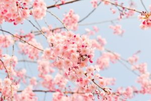 cherry blossom tree, pink, flowers
