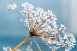 hemlock, plant, frost
