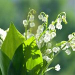 lilies of the valley, flowers, summer